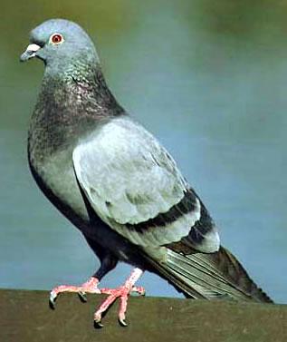 Pigeons Hate KOL