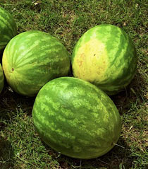 Ripe watermelon (notice yellow underside)